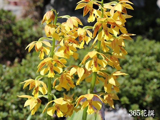 エビネ 育て方 花の写真 365花撰 栽培実践集