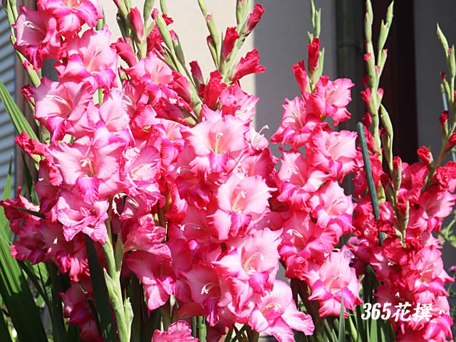 グラジオラス|育て方|花の写真|365花撰|栽培実践集