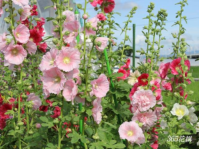 タチアオイ|育て方|花の写真|365花撰|栽培実践集