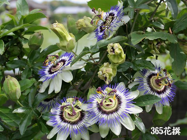 トケイソウ|育て方|花の写真|365花撰|栽培実践集