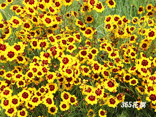 ハルシャギク|育て方|花の写真|365花撰|栽培実践集