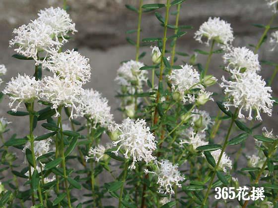 ピメレア|育て方|花の写真|36...
