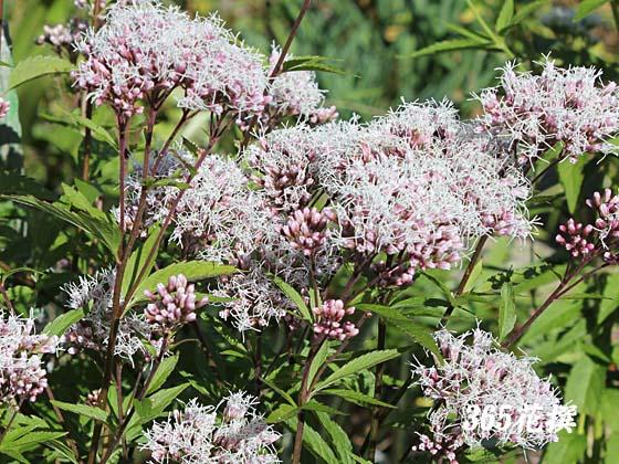 フジバカマ 育て方 花の写真 365花撰 栽培実践集