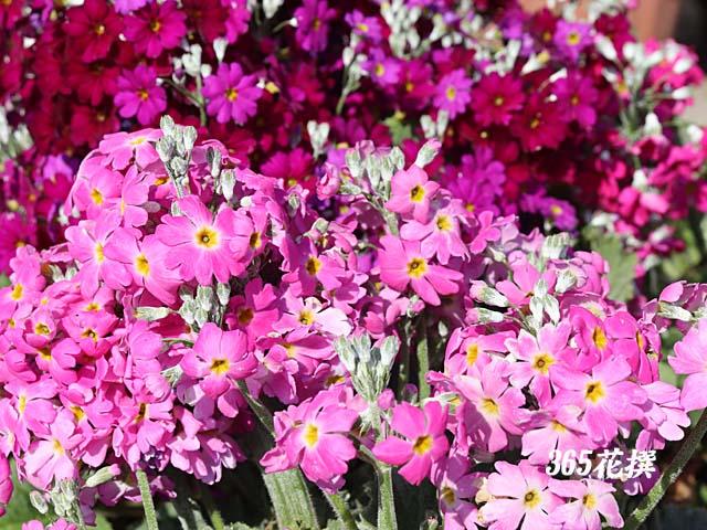 プリムラ・マラコイデス|育て方|花の写真|365花撰|栽培実践集
